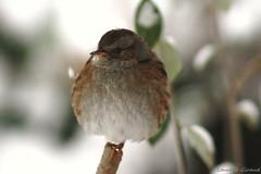 """Photo d'un oiseau dans le froid de l'hiver, l'Accenteur mouchet """"Prunella modularis """". photo by combraille"""