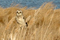 Short-Eared Owl (a mini-series)!! photo by Sangeetha Shanmugam