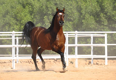 Arabian Horse ،، photo by Majed Al-Shehri → ماجد الشهري