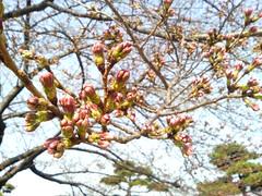 Sakura #09