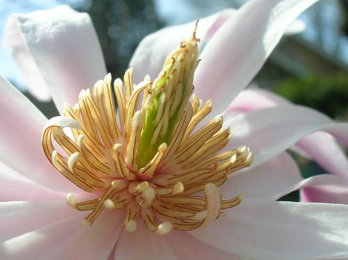 magnolia-ish flower