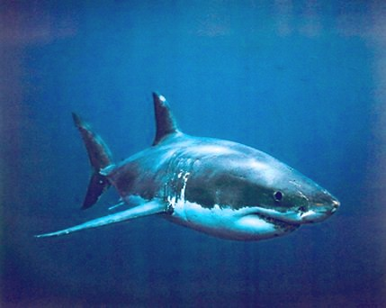 Dogfish Shark picture 2
