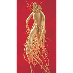 Ginseng root