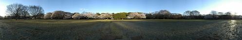 Cherry Blossom - Panorama 4
