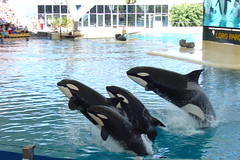 Killer Whale show - Sync-jump