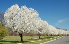 many, many gorgeous flowering trees photo by Steve from NJ