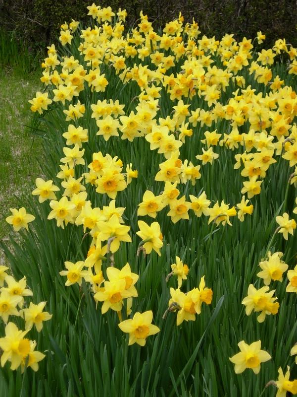daffodils! lots!