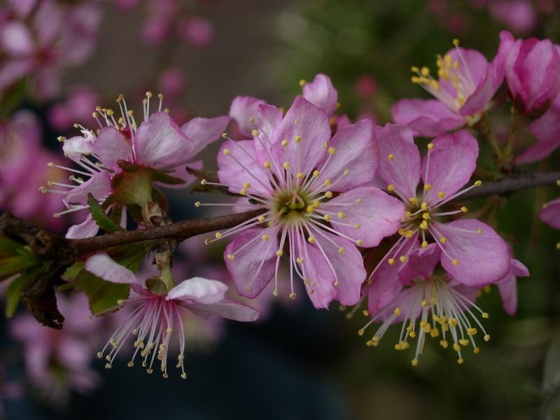 sakura, pink kind