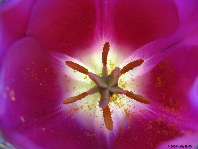 IMG_2525 - Purple Tulip, Inside