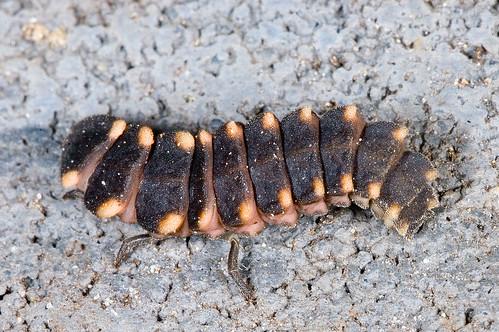 Een larve