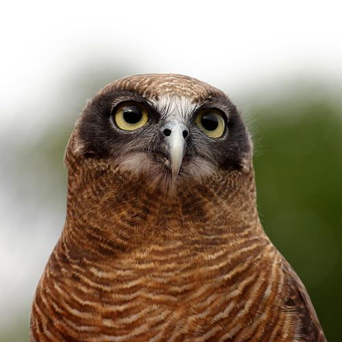 Rufous owl - photo#6