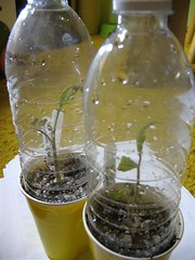 Sad Looking Tomato Seedlings (Cuttings)