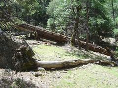 Yosemite - Fallen Tree