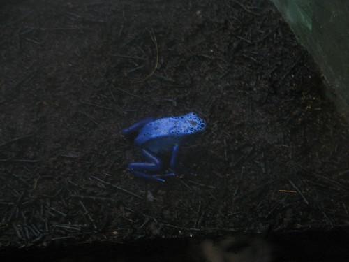 cool blue frog