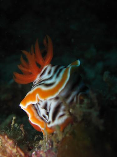 Nudibranch-Chromodoris Magnifica