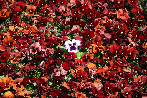 red pansies