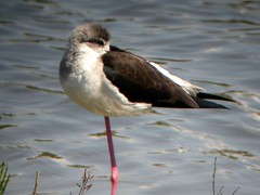 Black-winged Stilt, Quinta do Lago (Portugal), 15-Apr-06