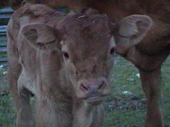 Chestnut Calf