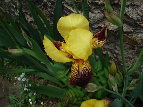 Iris du voisin