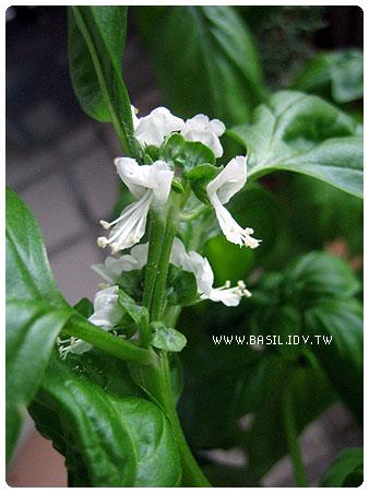 flowers of basil