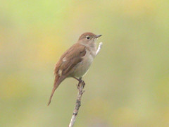 Nightingale, Elvas (Portugal), 23-Apr-06