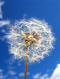Make a wish on this dandelion