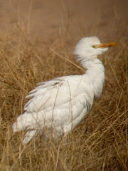 Cattle Egret, Elvas (Portugal), 24-Apr-06