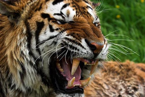 Sumatran tiger 8