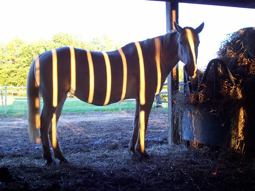my horse, the zebra!