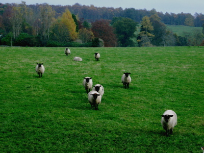 sheep comrie