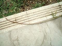 ハゴロモジャスミンの蔓