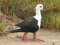 Black-winged Stilt, Forte do Rato (Portugal), 29-Apr-06
