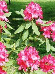 Rhodadendron (Greater Mountain Laurel)