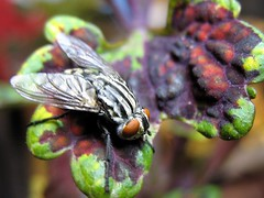 Fly on Coleus