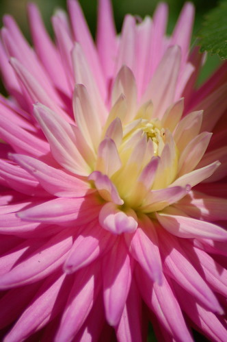 Pink Flower (by -Nicole-)