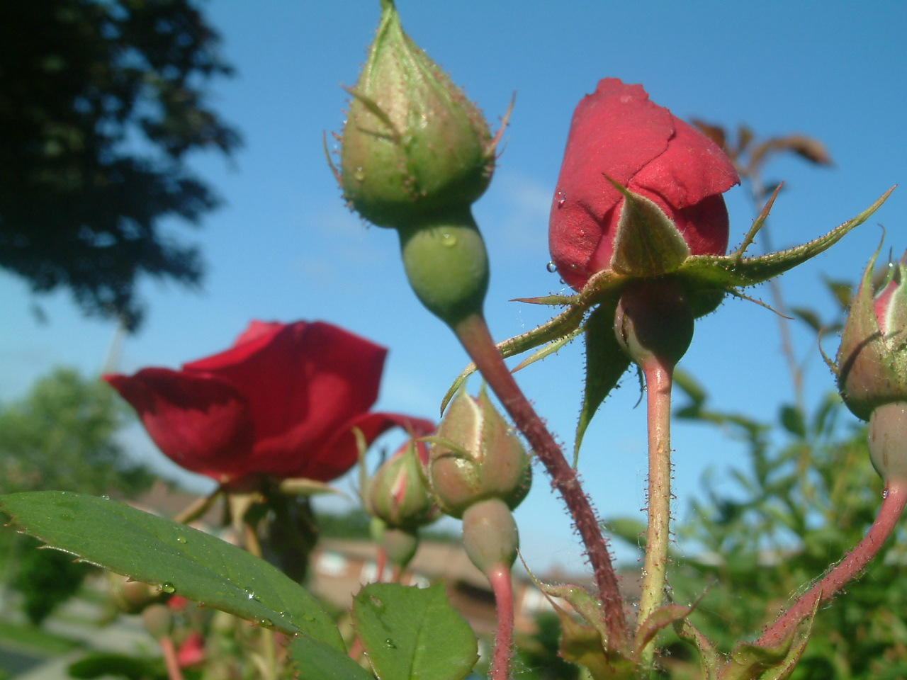 Rose Bud in the Sky