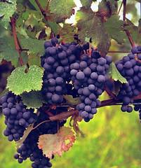 Saperavi-druiven