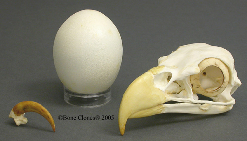 bald eagle egg talon