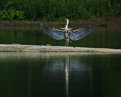 Full Flaps - Great Blue Heron @ Great Falls, MD