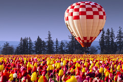 Hot Air Balloon & Tulips photo by The Flannel Photographer