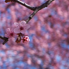 First Cherry Blossoms of 2011 photo by Thalassa2 (very very off)