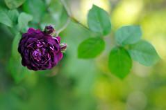 Rose 'Cardinal de  Richelieu' photo by myu-myu