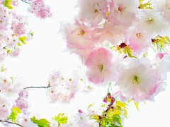 double cherry blossoms 八重桜 photo by usotuki