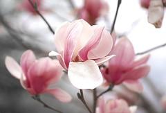 "Magnolia (Explore!). ""Walking Around My Neighborhood"" 155/365. photo by gll"