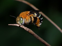 Blue banded bee #1 photo by James Niland