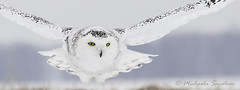 _MG_9645 Snowy Owl photo by ~ Michaela Sagatova ~