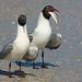 Laughing Gull Couple -- Mating Ritual? -- (4-Shot Series)