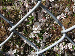 Flower Framed in Fence photo by pokoroto