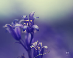 The Bluebell is the sweetest flower photo by fearghal breathnach