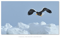 Steller's Sea Eagle photo by Marsel van Oosten